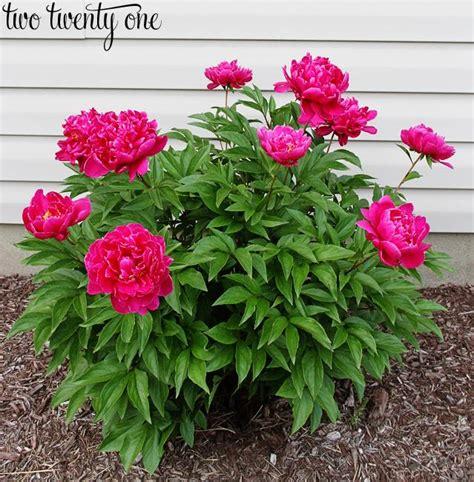 growing peony flowers growing peonies weddbook