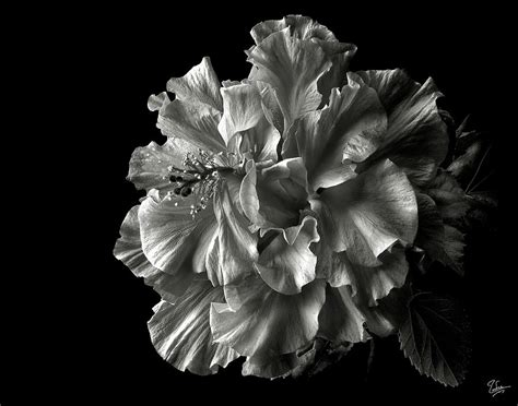 Fluffy Hibiscus In Black And White Photograph By Endre Balogh