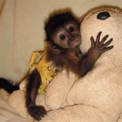 pet monkey pet capuchin monkeys pinterest