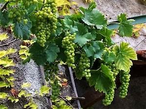 Achat Pied De Vigne Raisin De Table : vignes raisins de table tout ~ Nature-et-papiers.com Idées de Décoration