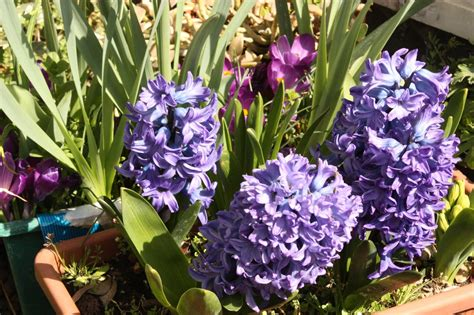 terrazzo fiorito terrazzo fiorito in primavera con i bulbi primaverili