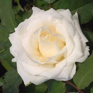 Rosier Grimpant Blanc : rosier grimpant 39 virgo 39 grandiflora ~ Premium-room.com Idées de Décoration