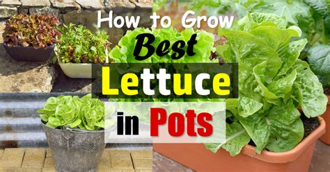 growing lettuce  containers   grow lettuce