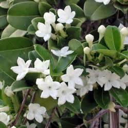 Organic Garden Seeds by Australian Seed Stephanotis Floribunda