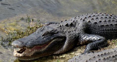 florida alligators what next