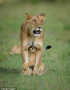 Image Gallery lion mother