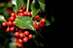 Strauch Mit Roten Beeren Im Winter : ilex steckbrief fortpflanzung nutzung und besonderheiten ~ Frokenaadalensverden.com Haus und Dekorationen