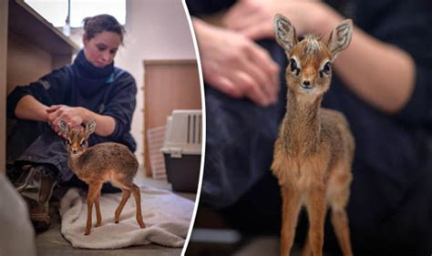 antelope zoo chester keepers deer mouse young express adorable surroundings taking they its