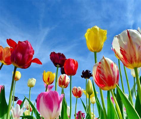 Tulpen Miesbach Bing Wallpaper Download
