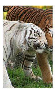 4k Ultra Hd Tiger Wallpapers - HD Wallpaper For Desktop ...