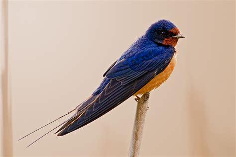 Barn Swallow Photos
