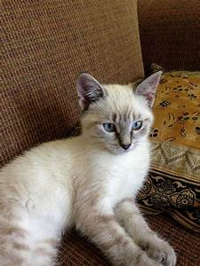Lilac Lynx Point Siamese Kitten | Dog and Cat