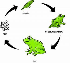 Frog Species Chart Lifecycle Of A Frog Animals And Lifecycles Animals