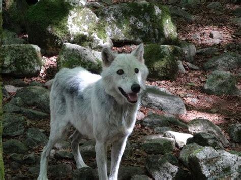 la maison des loups loup europe fotograf 237 a de la maison des loups orlu tripadvisor
