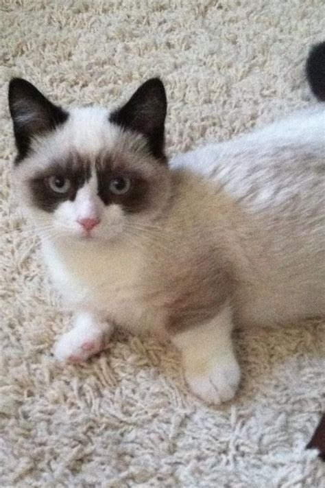 17 Best Ideas About Dwarf Cat On Pinterest  Dwarf Kittens