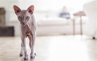 Sphynx Kittens 4k Wallpapers