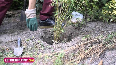 fargesia rufa en pot comment planter un bambou fargesia