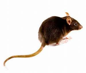 Wie Vertreibt Man Ratten : die ratte rattenarten wie wanderratte oder hausratte ~ Eleganceandgraceweddings.com Haus und Dekorationen