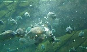 The Piranha Attack - A Full Guide to the Piranha Frenzy ...