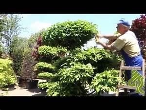 Formowanie drzew i krzewów - przycinanie graba - YouTube Tui Na