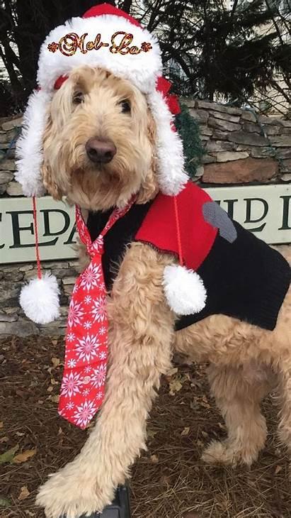 Dog Merry Editor Puppies Cavapoo Dogs Gifs