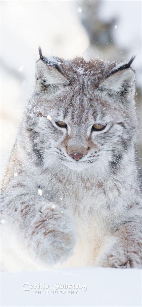 wallpaper wild cat winter snow lynx  uhd