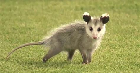 rally possum interrupts lsu baseball game sparks late