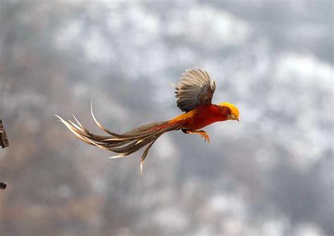golden pheasants  bird species listed    level
