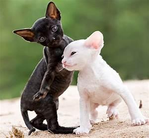 Schwarz Weiß Bilder Tiere : bilder k tzchen katze cornish rex zwei wei schwarz tiere ~ Markanthonyermac.com Haus und Dekorationen