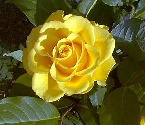 Gelbe Rose Bedeutung : file gelbe rose1 jpg wikimedia commons ~ Whattoseeinmadrid.com Haus und Dekorationen