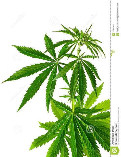 canapé bon plan cannabis plant royalty free stock photo image 17947325