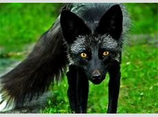 BlackFoxOnly Black Fox DeviantArt