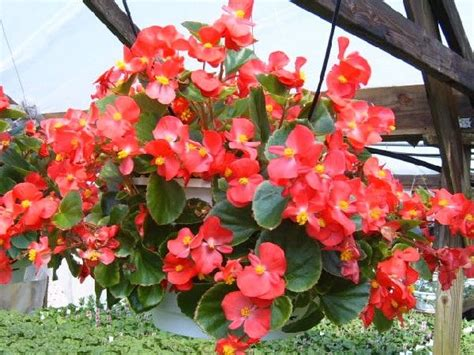 begonias care 12 air purifying houseplants to decorate your home with