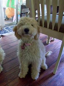 Pics For > Full Size Miniature Goldendoodle