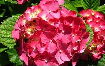 Flowers Flower Desktop Wallpapers Widescreen Background Ortensia