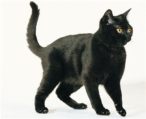 popular cat breeds   world  pets central