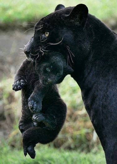 all black jaguar black panther all creatures great small pinterest