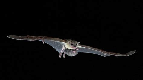 bats learn sounds  humans  science aaas