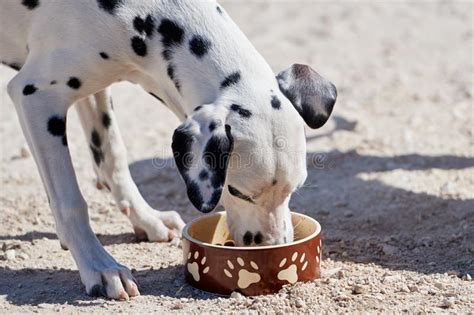 dalmatian eating food  bowl stock photo image