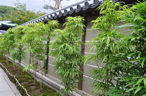 growing bamboo in containers 3 best potted bamboo hedges for florida 183 bamboo plants 4105