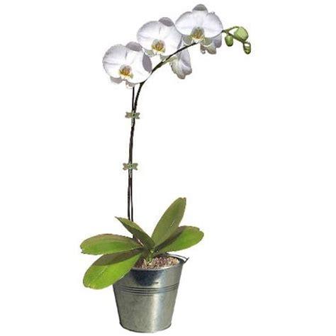 comment entretenir les orchid 233 es en pot photo de fleur une pensee fleuriste