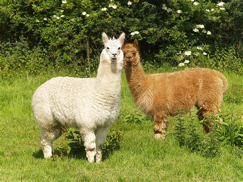 electric fencing  llamas alpaca fence zareba