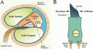 Location And Basic Structure Of Hair Cells  A  Radial