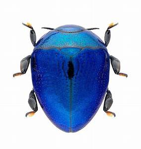 Blue bug | Beetles, Bugs and Insects | Pinterest