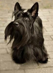 How To Read A Control Chart Growth Scottish Terrier Puppy Weight Chart Scottish Terrier