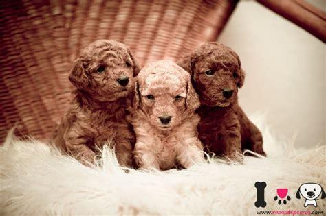 fotos de caniche razas de perros