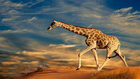 hd giraffe wallpaper wallpapersafari