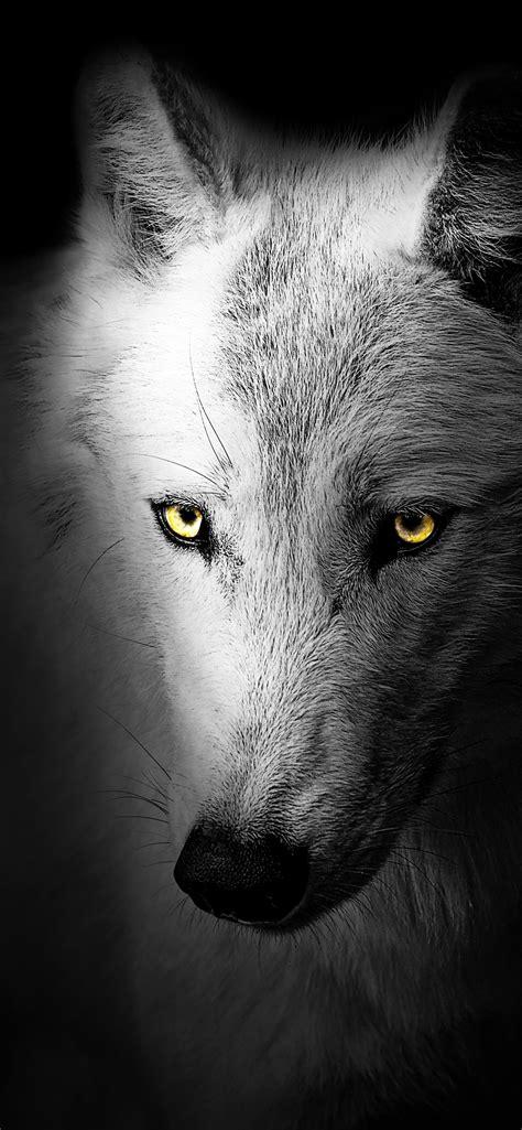 Wolf Wallpaper 4k Black Background Wild 5k Animals 1529