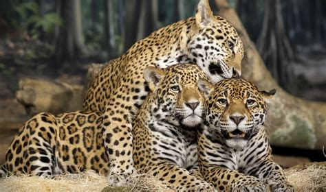 Jaguar Wallpaper Animal - list of animals jaguars pictures on animal picture society