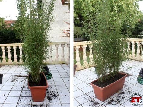 jardin rempoter une plante bambou